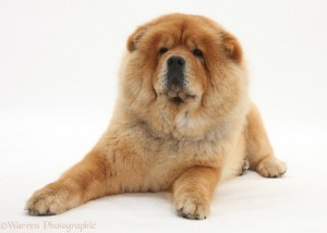 Chow Chow dog, Chico